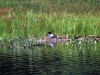 AWing-loon nest 4