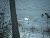 Trumpeter or Tundra Swan
