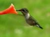 hummingbird02