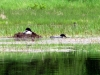 nesting_loons02