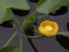 yellow_pond_lily02