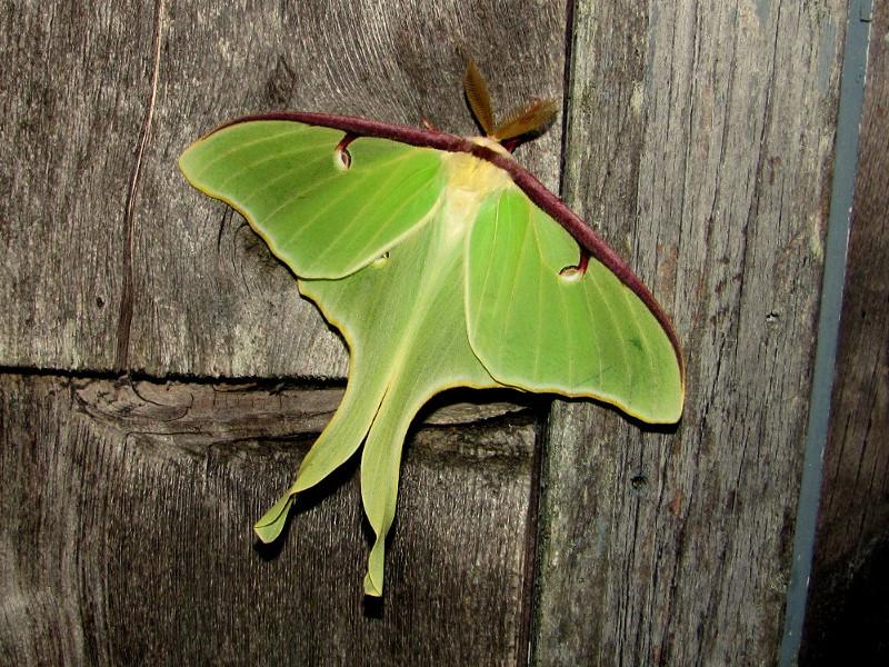 luna_moth01