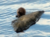 muskrat-eating-mussels1