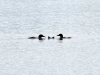 DSC_4391_loon_compressed