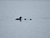 DSC_4392_01_loon-compressed