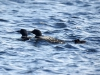 DSC_4449_loons_compressed