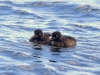 DSC_4487_loons_compressed