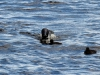 DSC_4494_loons_compressed
