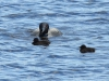 DSC_4505_loons_compressed
