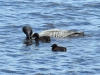 DSC_4506_loons_compressed