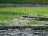 nesting_loons05312012_01