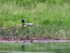 nesting_loons06212012_01