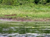 nesting_loons06212012_02