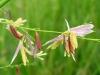 wild_rice_flowers