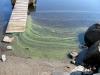 dead-blue-green-algae-21august2013