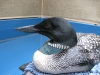 Loon Resting