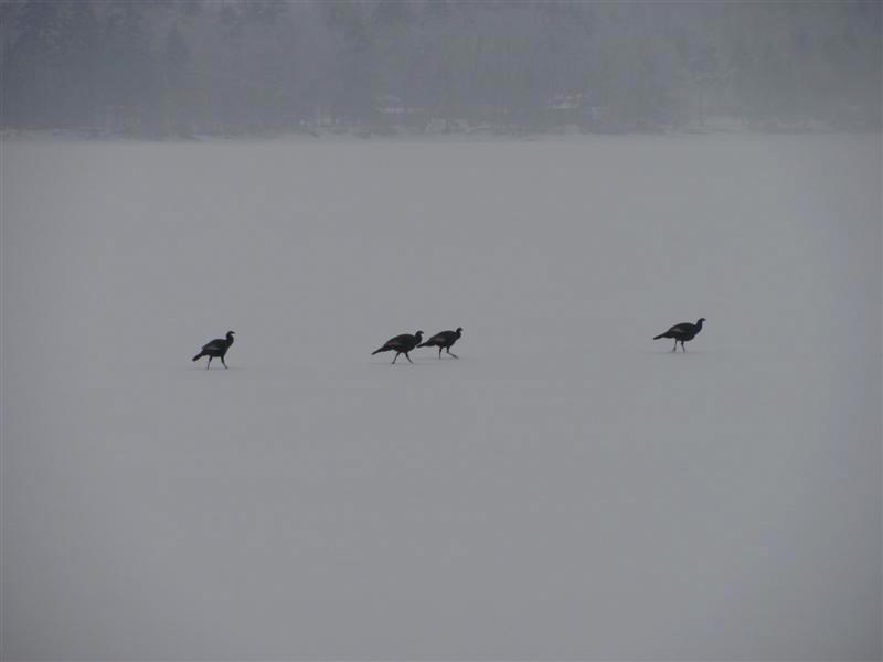 turkeys_on_ice